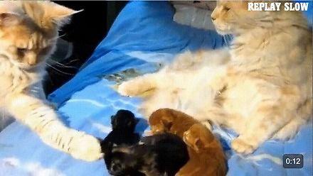 Kiedy kocur podejrzewa, że kociaki nie są jego