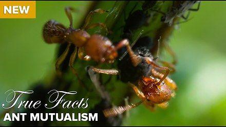 True Facts: mrówczany mutualizm