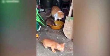 Szczur wyjada kotu z miski