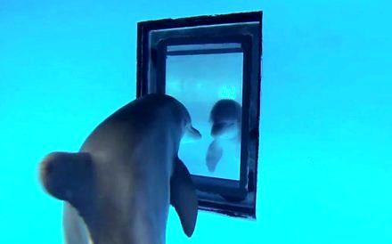 Delfiny przed lustrem