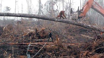 Orangutan walczy z  buldożerem o ostatni skrawek dżunglii