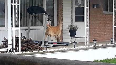 Pies biega po bieżni
