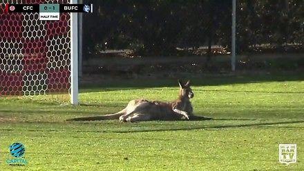 W Rosji na boisko nie wbiegnie wilk i zając, ale w Australii wbiegł... kangur