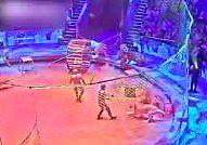 Tygrys atakuje lwa w cyrku