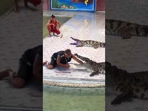 Mądry krokodyl szybko kończy show ze swoim udziałem