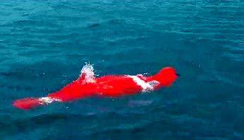 64-latek pobił rekord świata przepływając 3380 metrów... w worku