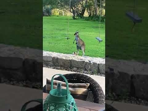 Kangur odkrywa, że huśtawka to fajna zabawka