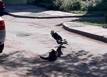 Wredna wrona przeszkadza kotom w bójce