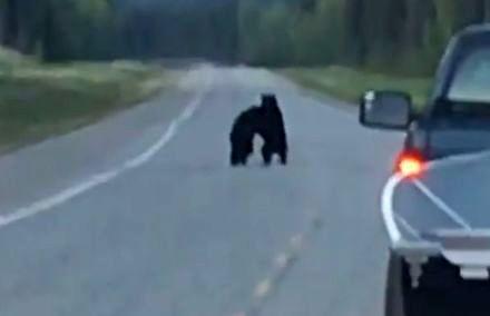 Takie rzeczy tylko w Kanadzie - pojedynek niedźwiedzi na drodze