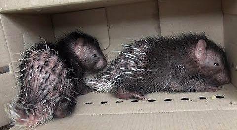 Uratował dwa jeżozwierze, które miały zostać czyimś zwierzątkiem domowym