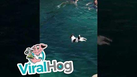 Pies i popisowy skok z klifu