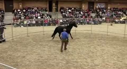 Pierwsze siodłanie konia w wyjątkowym wykonaniu