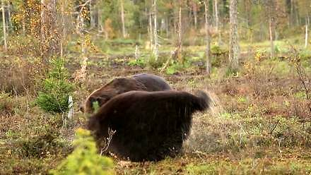 Walka niedźwiedzi brunatnych