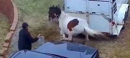 Pitbull wystartował do konia