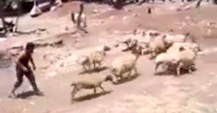 Wymierzenie sprawiedliwości przez owcę