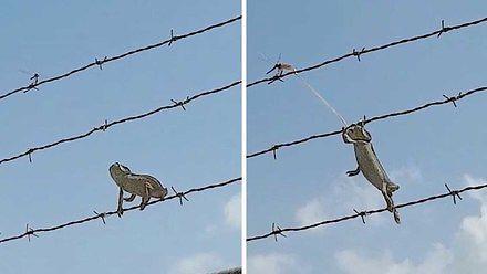 Kameleon gimnastyk poluje