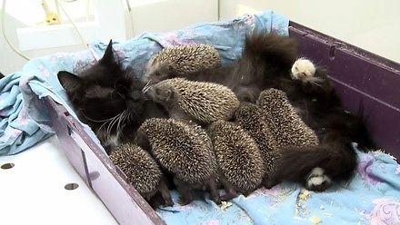 Najdzielniejsza kocia mama - karmi głodne jeżyki