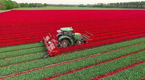Ścinanie łebków tulipanom w Holandii