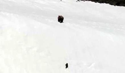 Mały niedźwiadek wytrwale wspina się na stromą zaśnieżoną górę