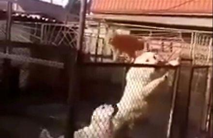 Kot, który lubi się popisywać odwagą