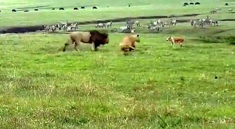 Największy kozak wśród psów