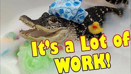 Jak się mieszka z aligatorem pod jednym dachem?