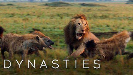 Lew zaatakowany przez dwadzieścia hien
