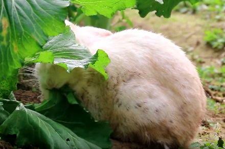 Nie dla wrażliwych - przygotowanie królika po chińsku