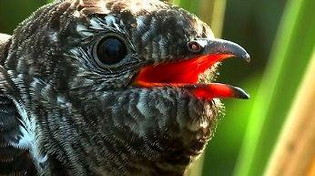 Młoda kukułka wyrzuca jajka z gniazda