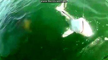 Kiedy chciałeś złowić rekina, a on został żywą przynętą...