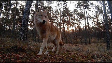 Przejście rodziny wilków