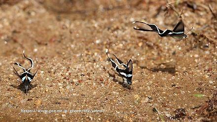 Motyle poruszające się jak ryby