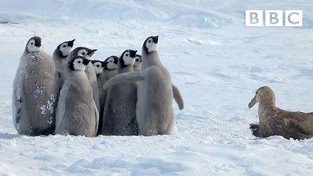 Małe pingwiny uratowane przez nieprawdopodobnego bohatera