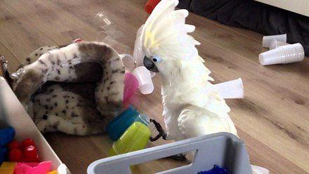 Największy skur**el wśród papug