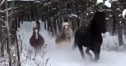 Konie cieszą się śniegiem i wolnością