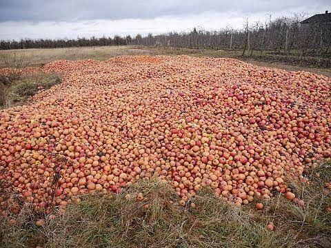 Ile ton jabłek zostało tutaj wysypanych?