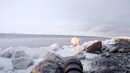 Co zrobić z niedźwiedziem polarnym, gdy podejdzie za blisko