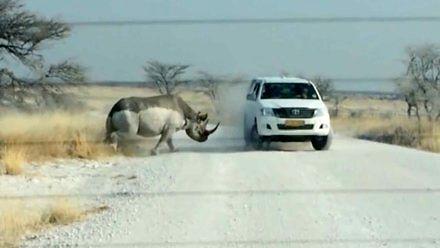 Szarża nosorożca
