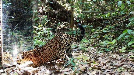 Dzikie zwierzęta amerykańskiej dżungli widzą lustro po raz pierwszy