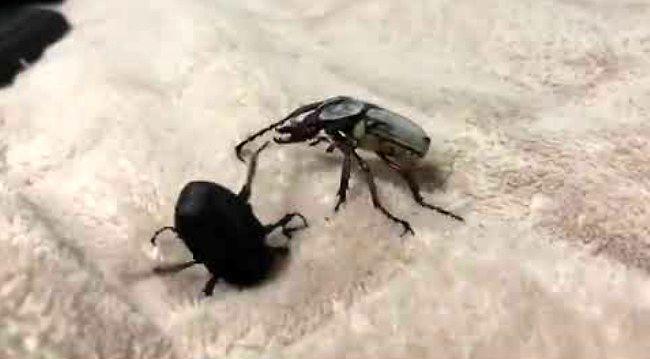Dwa chrząszcze biją się jak w ringu bokserskim