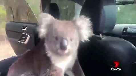 Koali podoba się w samochodzie. I co mu zrobisz?