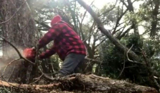 Drzewo mści się nawet po ścięciu