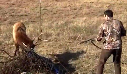 Okrutnik nie daje szans jeleniowi