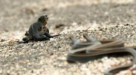 Iguana wchodzi w osiedle węży - scena jak z dobrego filmu akcji