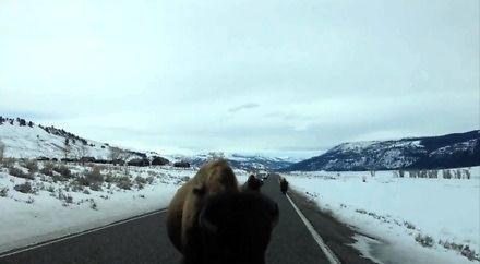 Kolizja z bizonem