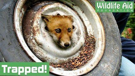 Dobre ludki pomagają liskowi, któremu utknęła głowa w feldze