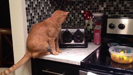 Kot zostaje zniszczony przez toster