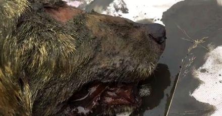 Głowa wilka sprzed 40 tys. lat znaleziona w wiecznej zmarzlinie na Syberii