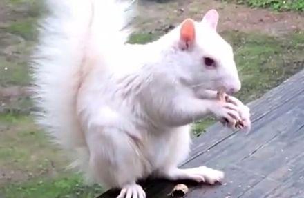 Wiewiórka albinos zajada się orzeszkami