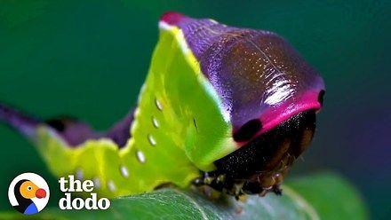 Widłogonka siwica - od poczwarki do motyla